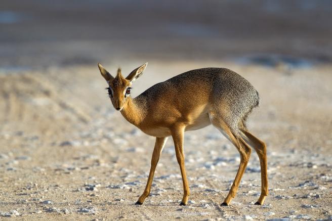 dik dik deer